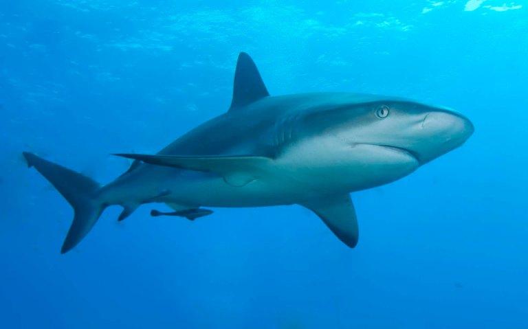 Caribbean-reef-shark.jpg
