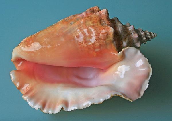 1200px-Sea_shell_(Trinidad_&_Tobago_2009)