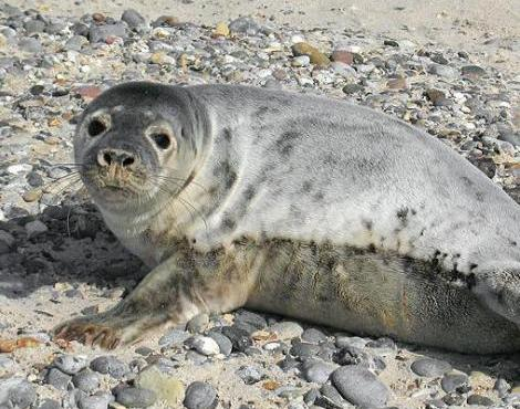 grey_seal3