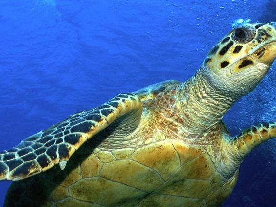 MID_225023-circle-hawksbill-turtle