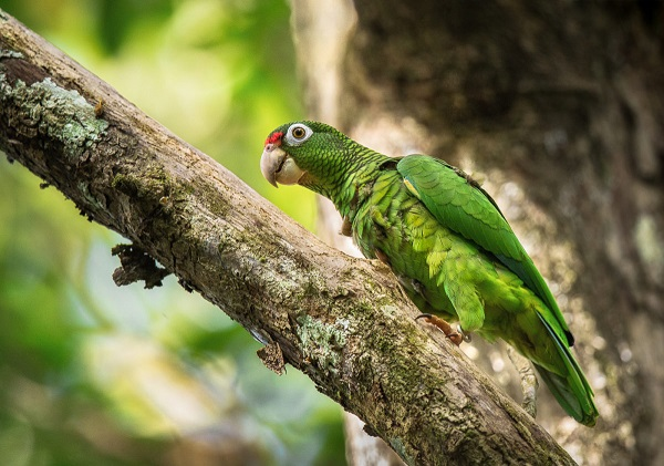 Puerto-Rican-Parrot-by-Alfredo-Irrizary-1200x841