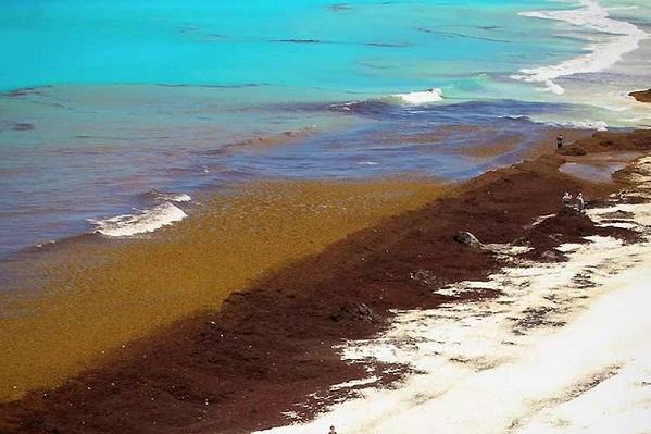 sargassum seaweed – Repeating Islands
