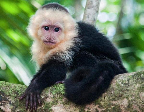 capuchin-monkey-baby