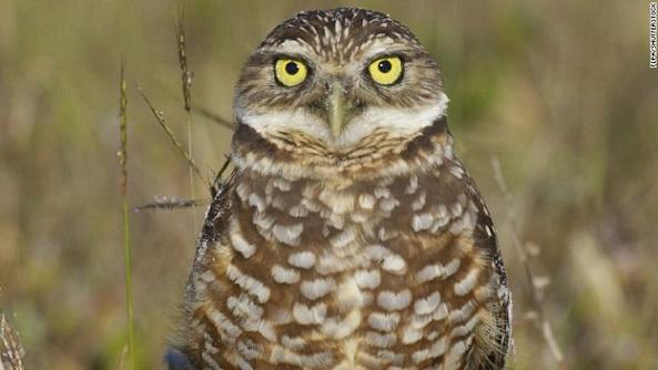 burrowing-owl-marco-island-file-exlarge-169