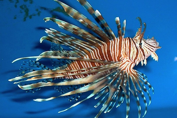 lionfish-noaa-gov.0