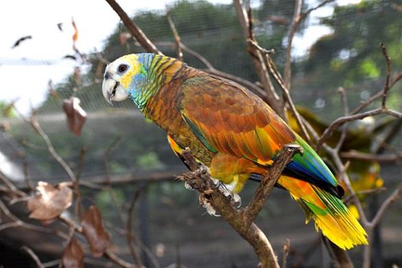 St-Vincent-Parrot.-Photo-by-Nandani-Bridglal-768x512