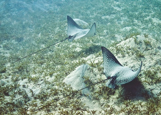 Spotted-Eagle-Ray-seagrass-840x600